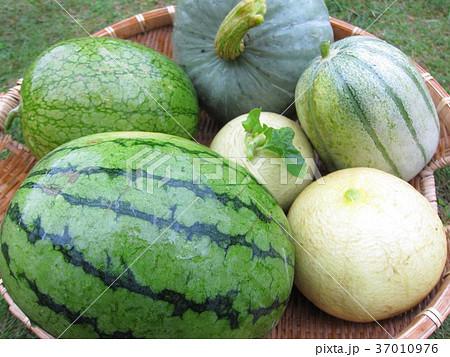 ウリ科の野菜の写真素材 [37010976] - PIXTA