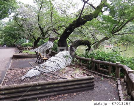 井の頭公園 37013267