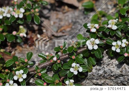 コトネアスター・ダンメリの花と蕾 37014471
