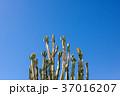 ゲッティ美術館のサボテン:Cacti at Getty Center 37016207