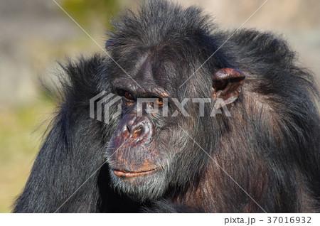 チンパンジー 37016932