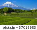 茶畑 富士山 夏の写真 37016983