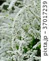 雪柳 ユキヤナギ 花の写真 37017239