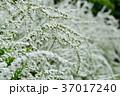 雪柳 ユキヤナギ 花の写真 37017240