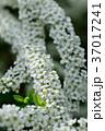 雪柳 ユキヤナギ 花の写真 37017241
