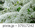 雪柳 ユキヤナギ 花の写真 37017242