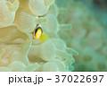 イソギンチャクの中から顔を出す小さいクマノミ(魚)1 37022697