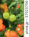 フウセンカズラ 果実 実の写真 37023700