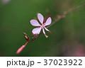 ガウラ 花 ピンクの写真 37023922