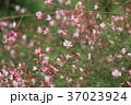 ガウラ 花 ピンクの写真 37023924