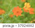 キバナコスモス 花 オレンジの写真 37024002