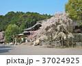 近江神宮の桜 37024925