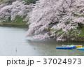 千鳥ヶ淵 桜 満開の写真 37024973