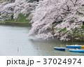 千鳥ヶ淵 桜 満開の写真 37024974