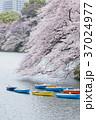 千鳥ヶ淵 桜 満開の写真 37024977