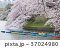 千鳥ヶ淵 桜 満開の写真 37024980