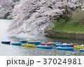 千鳥ヶ淵 桜 満開の写真 37024981