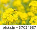菜の花 ミツバチ 春の写真 37024987