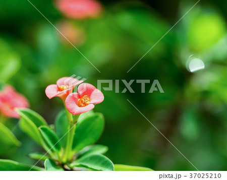 Closeup Pink flowers (Poi Sian flowers) blooming 37025210