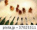サボテン シャボテン 仙人掌の写真 37025311