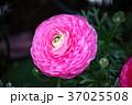 ラナンキュラス ハナキンポウゲ 花の写真 37025508