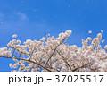 桜 花 背景の写真 37025517