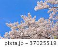 桜 花 背景の写真 37025519