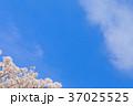 桜 花 背景の写真 37025525