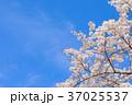 桜 花 背景の写真 37025537