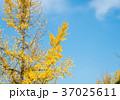 あき 秋 銀杏の写真 37025611