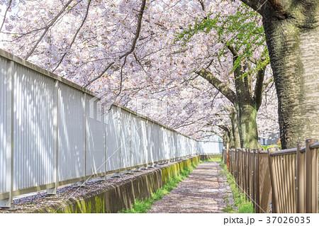 桜イメージ_桜並木道 37026035