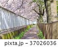 桜並木 並木道 桜の写真 37026036