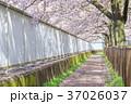 桜イメージ_桜並木道 37026037