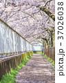 桜並木 並木道 桜の写真 37026038