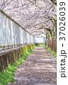 桜並木 並木道 桜の写真 37026039