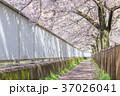 桜イメージ_桜並木道 37026041