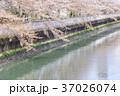 桜 桜吹雪 川沿いの写真 37026074