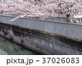 桜 川 桜吹雪の写真 37026083