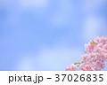 桜 花 背景の写真 37026835