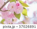 桜 八重桜 花の写真 37026891