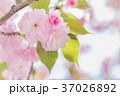 桜 八重桜 花の写真 37026892