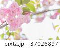 桜 八重桜 花の写真 37026897