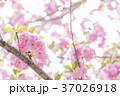 桜 八重桜 花の写真 37026918