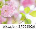 桜 八重桜 花の写真 37026920