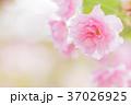 桜 八重桜 花の写真 37026925