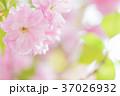桜 八重桜 花の写真 37026932