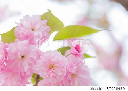八重桜イメージ 37026939