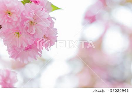 八重桜イメージ 37026941