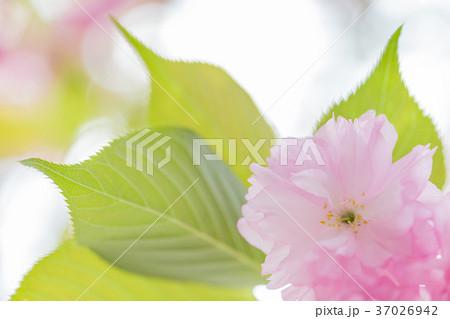 八重桜イメージ 37026942
