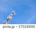 桜 花 背景の写真 37026990